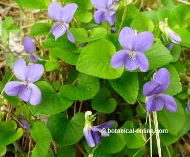 Violet flowers and leaves