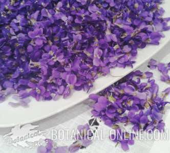 flores de Violeta, viola odorata recien recolectadas