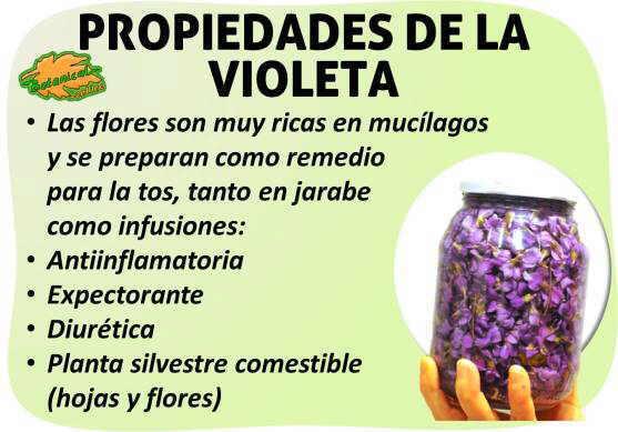 Propiedades medicinales de la violeta, viola odorata tricolor