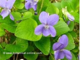 violetas para la cistitis