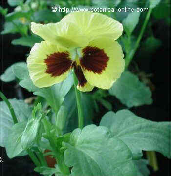 Pansy flower