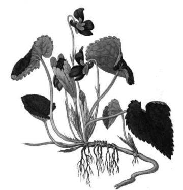 Ver foto y ficha botánica