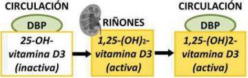 vitamina D metabolismo fabricacion activacion riñones