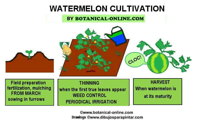 watermelon cultivation tasks