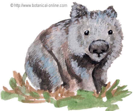 dibujo de wombat