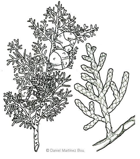 Dibujo de ciprés