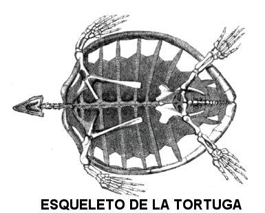 Caparazn de las Tortugas