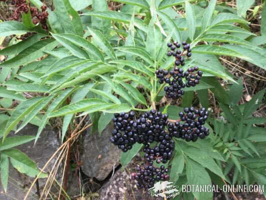 foto planta yezgo con frutos