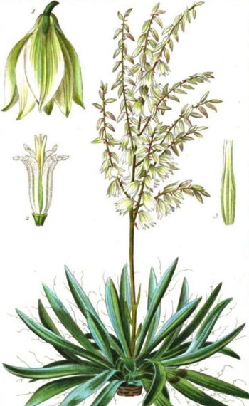 yucca filamentosa yucca properties