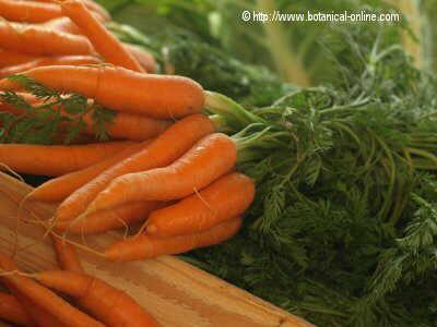 Foto de zanahorias