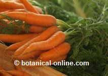 Raíz de la zanahoría