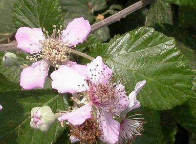 flores de zarzamora