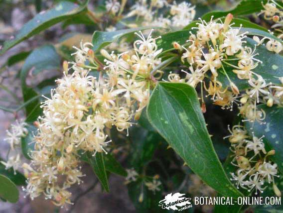 zarzaparrilla flores blancas
