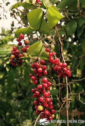 zarzaparrilla frutos rojos