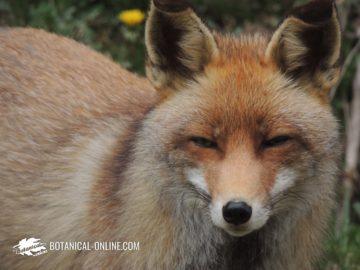 zorro común